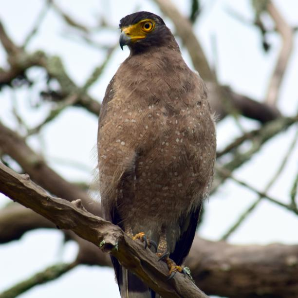 Crested Serpent Eagle, Bandipur